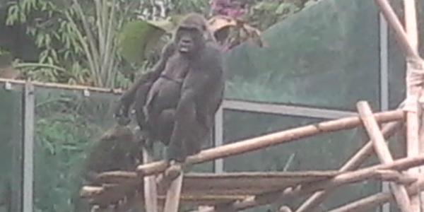 gorilla-ok